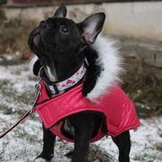 Entzückende Welpen der französischen Bulldogge