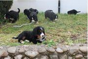 Reinrassige Bernersennenhundwelpen mit Papiere zu