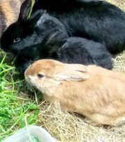 2 Kaninchen Babys ab 9