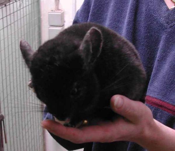 Chinchillas abzugeben » Kleintiere