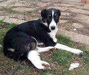 Pablo - 7 Monate kleiner Junghund