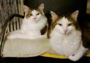 Maine-Coon-Katzen