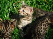 Bengal Kitten zum