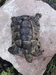 Maurische Landschildkröte, Testudo