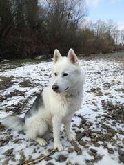 Siberian Husky-Weißer