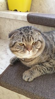 Katze Britisch kurzhaar