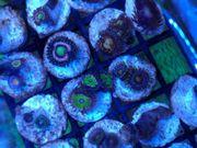Korallen abzugeben