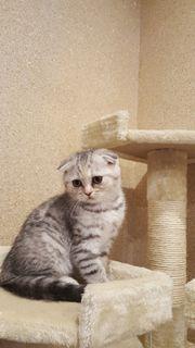 Katze Kitten Scottish
