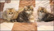 Perserkitten Perser Kitten in golden