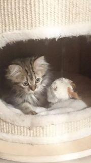 Lucie, Kitten, Mix,