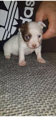 Wunderschöner Chihuahua Welpe