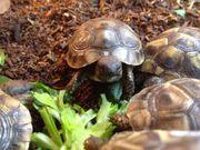 Griechische LandschildkröteLandschildkröte