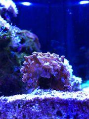 Euphyllia lila - rosa Meerwasser Koralle