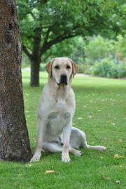 Blonder Labrador Deckrüde