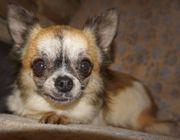 AMALKA - Chihuahua Mix