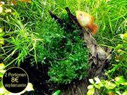 Süsswassertang, Aquariumpflanzen, (Versand)