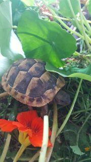 Griechische Landschildkröten mit Papieren aus