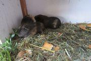 CH Teddy Meerschweinchen