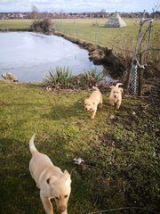 Labradorwelpen in blond m P
