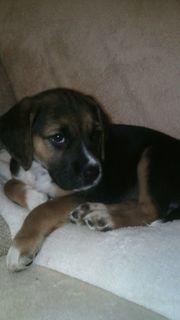 Sehr hübsche Beagle