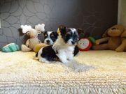 Wunderschöner Biewer Yorkshire Terrier Welpen