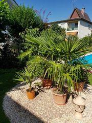 3 Palmen - auch einzeln zu