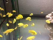5 Yellow Barsche