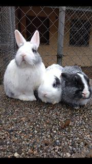 Zwergkaninchen Kaninchen z t geimpft
