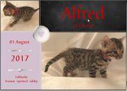 Bengal Kitten zu