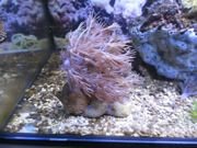 Korallenableger Weichkorallen