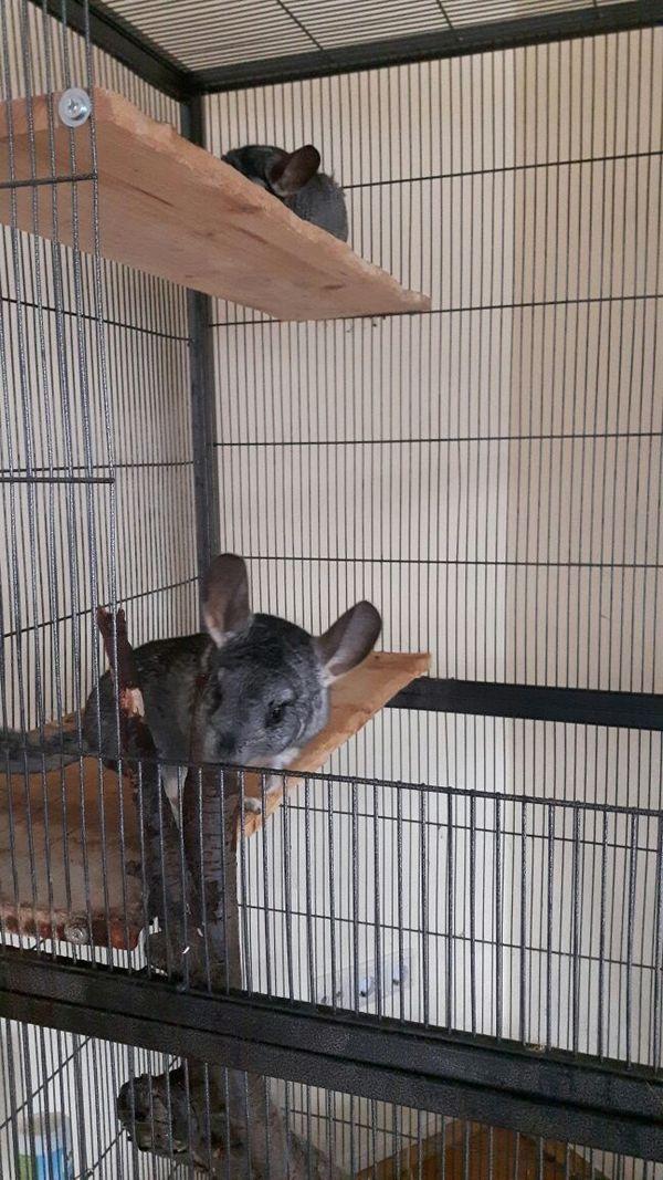 Chinchillas zu verschenken » Kleintiere