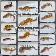 Leopardgecko-Babys abzugeben