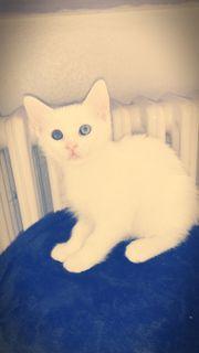 Angora Baby Katze