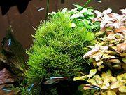 Javamoos, Aquarienpflanzen, (Versand)