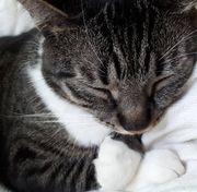 Wunderschöne Katze abzugeben