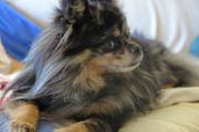 Bildhübscher Chihuahuadeckrüde deckt gesunde kleine