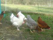 Hühner / Legehennen