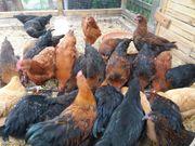 Hühner Hahn 2