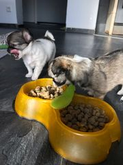 Chihuahua Langhaar Welpen