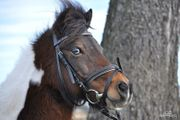 Shetty Pony sucht Pflegebeteiligung