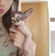 Junge Sphynx Katze