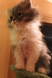 Baby Kätzchen Chinchilla