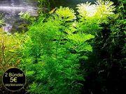 Blütenstielloser Sumpffreund Aquarienpflanzen Versand