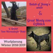 Holländischer Schäferhund-Hollandse Herder FCI Zucht