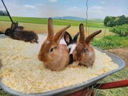 Hasen Kaninchen Babys Jungtiere