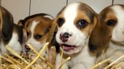 Beagle Mischling Welpen