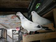 2 verschiedene Tauben abzugeben