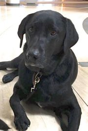 MORITZ toller Labrador-Mix