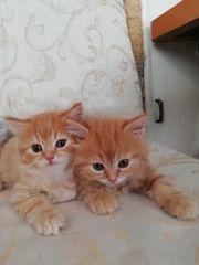 Perser Kitten aus