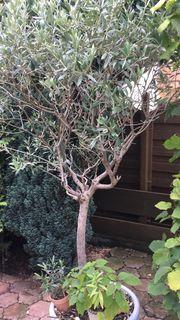 olivenbaum olea europea 80 bis 100 jahre alt in. Black Bedroom Furniture Sets. Home Design Ideas